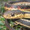 Common Garter Snake Jigsaw 2