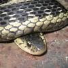 Common Garter Snake Jigsaw