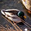Jigsaw: Shallow Duck