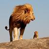 Lion And Cub Puzzle
