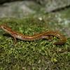 Long-tailed Salamander Jigsaw