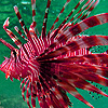 Red lionfishes puzzle